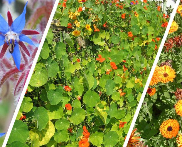 Compagnonnage et fleurs utiles au potager