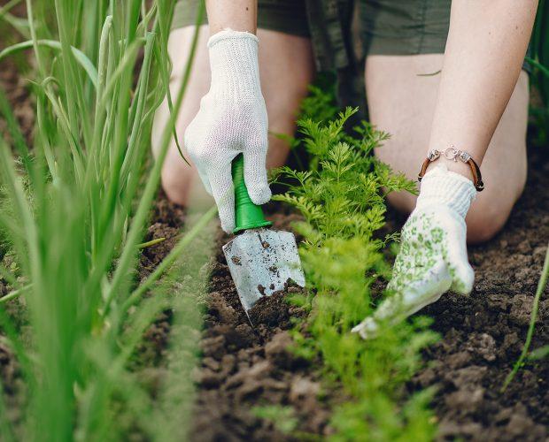 Les engrais verts ou naturels bénéfiques pour le potager