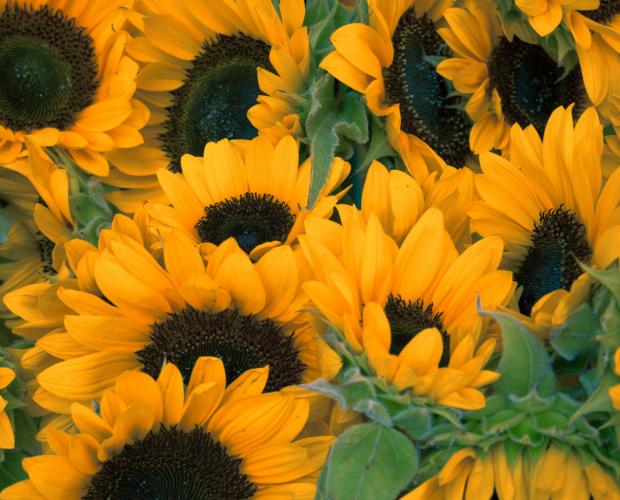 Les 6 fleurs utiles au potager - Blog - Dr. Jonquille & Mr. Ail