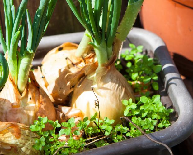 7 légumes qui poussent à l'infini - Blog - Dr. Jonquille & Mr. Ail