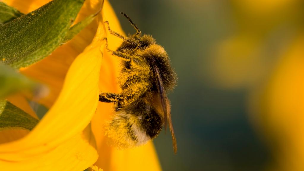 Les bourdons du jardin: attirez et recensez les rois de la pollinisation - Blog - Dr. Jonquille & Mr. Ail