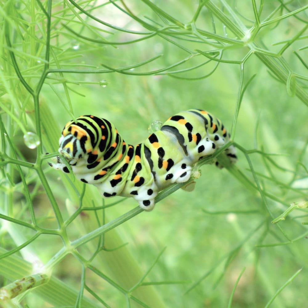 Larve papillon machaon se nourissant dans un fenouil