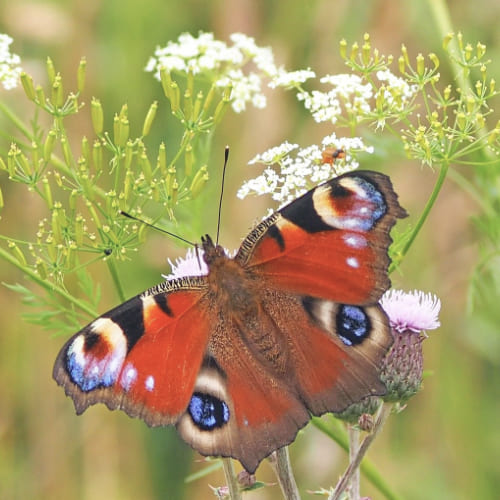 Papillon Paon du jour au jardin