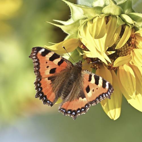 Papillon petite tortue sur une fleur de tournesol