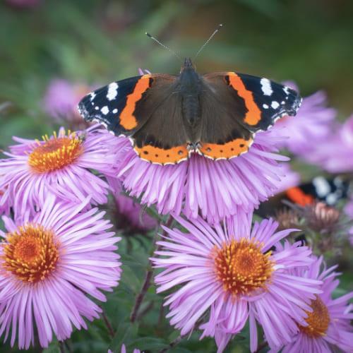 Papillon vulcain au jardin
