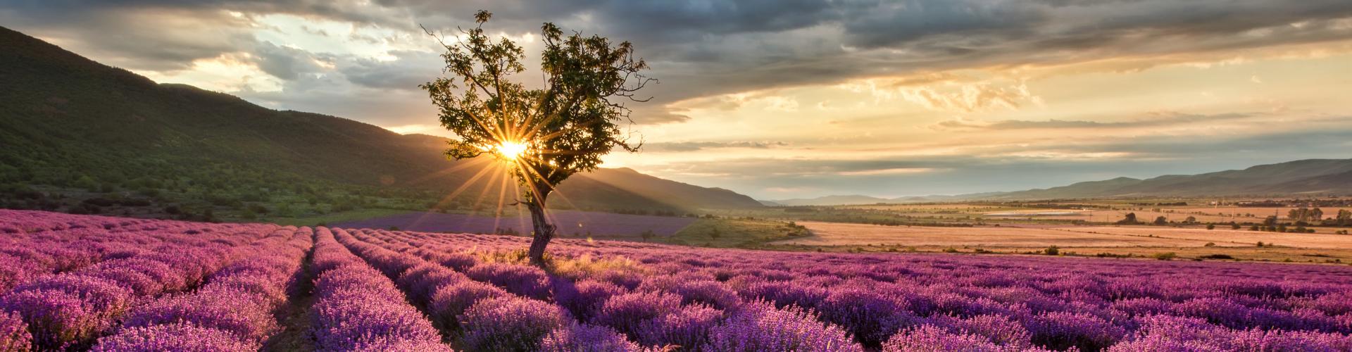 La lavande : semis, culture, récolte - Blog - Dr. Jonquille & Mr. Ail