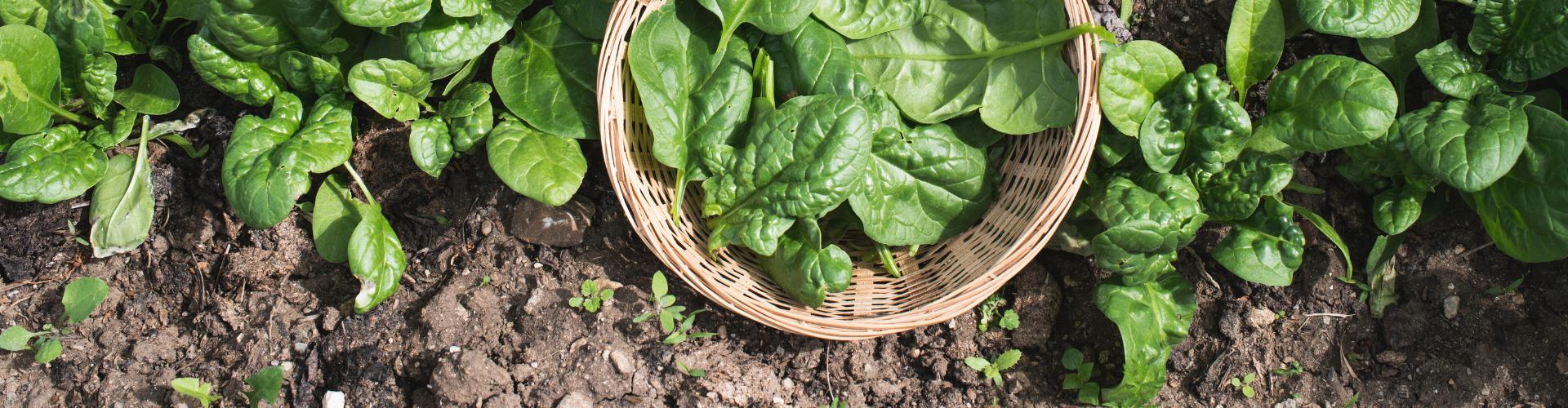 Les épinards : semis, culture, récolte - Blog - Dr. Jonquille & Mr. Ail